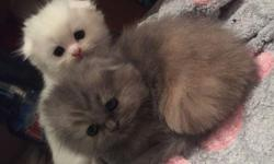 sweet scotish fold kittens for new home