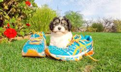 This is ?Kirsten?, our perfect female CavaChon Hybrid puppy with the sweetest temperament. Kirsten is for sale in San Diego and ready for a new home!   Cavalier King Charles Spaniel x Bichon Frise * 9 weeks old  * Adult weight: 8-13 lb. *