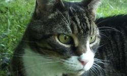 Black & Tan striped tabby with White snout, neck , belly, and paws. Pink nose. Dark spot in right eye. Missing bottom right K9 tooth TUCKER has been missing since Easter Day from Rolling Meadows in Bear Delaware 302-897-1750