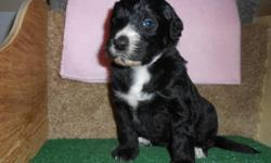 Want to snuggle with me tonight? If so, then bring me home with you! Hi There! I'm Talya! The adorable Female Bernadoodle! I'm a designer breed between a Standard Poodle and Bernese Mountain Dog. I'm just too cute! I was born on February 27th,2015! Many