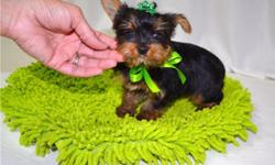 If you looking for quality yorkshire Terrier puppy, thats the one. 13 weeks old and ready for new home. Puppy is very sweet with extremely adorable face, short legs compact body. very well socialized interested person should text at (561) 688-3521