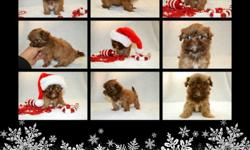 (Just In Time For Christmas) Tea Cup Shih Tzu Puppys Female all chocolate with some white liver noise and green eyes. She will be no bigger then 5 when full grown short legs and short back AKC registered . Mommy is 6 lbs daddy is 5 lbs D.O.B is 10/29 she