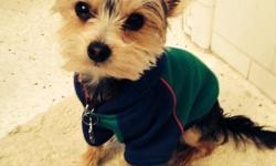 Adorable Tea Cup Yorkie 3 Male $600.001 female $800.00 Text - or email elva1969@aol.com