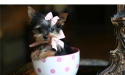 This unbelievable cute puppiy and many more are available to loving homes. These exquisite Teacup and Toy puppies are very unique you won?t find anywhere else. Most of our puppies are hypoallergenic, and all of our pure bread puppies come with