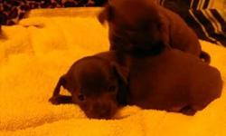 i have 2 puppies out of 4 left.i have 1 female that is black with white markings and i have 1 blue male.the female is $250 and the blue male is $350.they have been wormed and being pee pad trained.they are ckc registered.