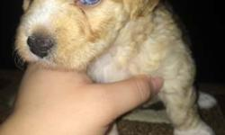 Purebred Teacup Havanese Puppies. Born May 12th 2016. 3 Females, 1 Male. Last pics are of Male. 1st Female has Heterochromia iridum. (1 green eye & 1 blue eye) Vaccines up to date w/ shot records. Raised indoors, Great personality, and Very
