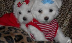 Tiny adorable Maltipoo (Maltese / Toy Poodle) puppies available. Non-shedding, hypoallergenic. White with cream & light tan markings. Super sweet personalities and tiny size. Perfect traveling companions/ purse puppies. Sure to turn heads! 2nd shots, vet