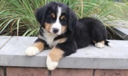 This is Teddy, he is a gorgeous tri-color male AKC Bernese Mountain Dog! This little one is playful, loves to play fetch and getting his tummy rubbed. He was born on June 3, 2016. His mom weighs 85 lbs and is AKC registered. His dad weighs 95