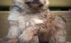 Beautiful Yorkeranian male dob 5/30/16  Teddy Bear Faced  Yorkie and Pomeranian  Great with Kids and socialized.  All shots and dewormings for age.  434 265 3982 call or txt  www.countryhillpups.com Will Car deliver or