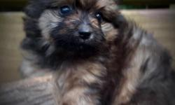 Beautiful Yorkeranian Female dob 5/30/16  Teddy Bear Faced  Yorkie and Pomeranian  Great with Kids and socialized.  All shots and dewormings for age.  434 265 3982 call or txt  www.countryhillpups.com We car deliver and