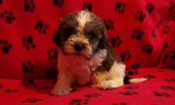 1 Female Teddy Bear (ShihTzu/Bichon)? born on 6-9-11. UTD on shots and comes with a health warranty. *?* Credit Cards Accepted (Visa/MasterCard????) ** Financing Available (Please Inquire) ** Shipping Available For More Info Call/Text: 262-994-3007??