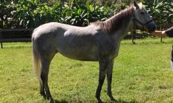 t/b mare for sale 6 year old gray very easy going make a nice comp horse call or email me for pic or more info