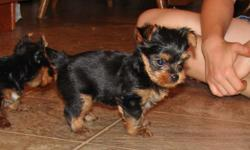 My Yorkie terrier dog had three puppies( 2 males and 1 female). Also the puppies are purebreed. They are excellent with adults and children. For more information please feel free to contact me (415) 735-9764
