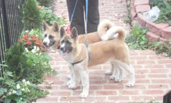 Three months old Akita young puppies. Very Intelligent and very friendly. They get along with any small pet in the house.