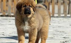 Lion Heard Tibetan Mastiff Puppies They are very outstanding and socialize they are Registered/registerable, Current vaccinations, Veterinarian examination, Health certificate, Health guarantee, Pedigree, Travel crate
