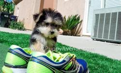 ?Tiny-Claudia? is our gorgeous female Morkie Hybrid puppy for sale in San Diego. She is current on her vaccines and comes with a One Year Congenital Health Guarantee. Claudia will be 3.5 lbs Full Grown, and she is currently 9 weeks old. Weighed 1 lbs 5 oz