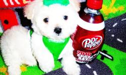 Maltipoos, tiny fluffy puppies. Love to cuddle and play. They are well socialized with children, adults and other pets. Current in their vaccinations, dewormings and health guarantee. These pups are non-shedding and hypo-allergenic. Will definitely make a