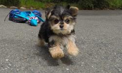 """""""Bailey"""" is the cutest female Teddy Bear puppy for adoption! - Maltese x Shih-Tzu - 10 weeks old and Ready to Go Home! - One Year Congenital Health Guarantee - Current on Vaccines - Adult Weight : 4-5 lbs - Vet Checked - Clean Bill of Health - Microchip"""
