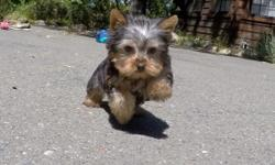 """Come and visit """"Abby"""", our sweet and loving female Yorkshire Terrier puppy! * ICA Registered * 13 weeks old * Health Guarantee * Current on Vaccines * 3 lbs Full Grown * Vet Checked * Clean Bill of Health * Microchip (optional) - Please Call or Text -"""