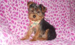 Small beautiful Pure Breed Yorkshire Terrier Male puppy for Sale. Puppy was Born on 11/5/2010, 3 other puppies from the litter have already gone to their new homes, so he won?t last long. Have both mom and dad, both mom and dad are APRI certified, Mom is