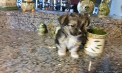 Tiny Female Morkie Puppy $700 Located in Roanoke, VA We are not a breeder, for this is our first and only little. This little girls father is at therapy dog who rides a motorcycle. To find more pics, videos, and family history of this