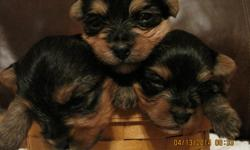 I have 3 tiny female morkies for sale.born march 24,and should be ready around may 12? Both parents are akc dogs with good traits and bloodlines.parents are just under 5pounds so, pups should be in the 3-5 pound range.one girl is tiny born 2.5