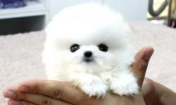 Tiny Teacup Pomeranian puppies. Will be 2.5 -3 lbs full-grown. They have all their shots according to their age. If you are looking for a small loyal dog, this is the right one. I also have started all of their house training from a very young