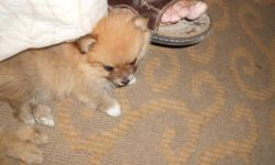 WE HAVE TWO SUPER TINY POMS, 1 MALE 1 FEMALE .THE FEMALE IS A PARTI WITH BROWN/TAN/WHITE . THE MALE IS BROWN TONES(SABLE) THEY BOTH ARE SUPER CUTE , PLAYFUL AND WORKING ON POTTY TRAINING. tHEY ARE 7 WEEKS OLD AND READY FOR A NEW HOME. YOU CAN COME SEE