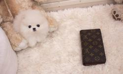 True to type Tiny Micro Teacup Pomeranian puppies ready now, 8 weeks old. 4 puppies available, one light cream boy (pictured) one Cream Sable Boy and 2 Cream Sable Girls. Mummy and Daddy are both true teacups Sire is pure White and Dam is orange with