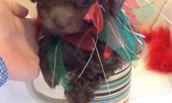 Adorable chocolate teeny toy poodle. He is 8 weeks old and is still pretty small. He loves to play too. He has cute teddy bear face with plush curly coat. He comes with first set of puppy shots, worming, toy, bone, sample food, puppy booklet, and puppy