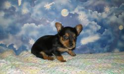 I have 3 Yorkie Puppies for sale. Both parents are on site and both CKC registered. I have 2 males for $500 each I have 1 Female for $600 Taking deposits now, puppies will be ready on September 1st. Adult weight will be about 5-6 lbs. Just as cute as can