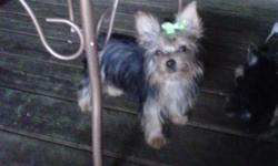 Compact bodies, Shots/Wormed, Vet Checked, Health Certificate, Dam/Sire under 4lbs. Raised as part of the family. CKC Registered. Short legs, thick fur coat, nice personality. Ears up! Baby doll faces. Very adorable. Yorkshire breed standard is 5-7 pounds