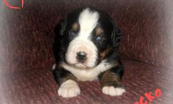 Think I'm the one for you? If so, then you should take me home with you! Hey There! I'm Tommy! The coolest AKC Bernese Mountain Dog EVER! I was born on December 25th, 2013! Many people like me for my soft, fluffy black, brown, and white fur, my dazzling