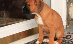 Registered BOXER. He is 13 weeks old and is vaccinated and dewarmed. He has long fluffy black fur that glitters in the sun as he plays. He's a cheerful little bunch that that ... Contact us at # (614) 398-0887 for more details.