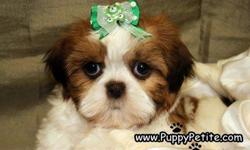 Come see our sweet toy and imperial size Shih Tzu puppies. They come in all colors including red and whites, brindle and whites, black and whites etc. Theyare8-12weeksold and the price starts at $400.They are all