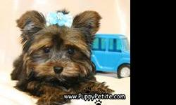 Adorable toy andteacup Yorkie puppies are here. They have baby doll faces and shiny hair coats. They are 8 to 12 weeks old and the price starts at $550.We specialize in toy breeds and also very tiny teacup and pocket size