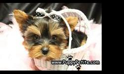 You will love our adorable toy andteacup Yorkie puppies. They have baby doll faces and shiny hair coats. They are 8 to 12 weeks old and the price starts at $550.We specialize in toy breeds and also very tiny teacup and pocket size