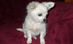 Toy Long Coat Male Chihuahua Puppy CKC Price: $250.00. Cash Please. About 3 mo. old. First Shot. Adult weight charting at 4 & ½ to 4 & 3/4. Lbs. Parents on premises. He is white now, but his mom is white with black & I believe that some black will show up