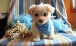 Milo is a happy go lucky puppy, always wagging his tail. He loves loves to be by my side and follow me everywhere. He is a snuggly furbaby maltese. He is adorably sweet, upotdate on his shots and learning to use