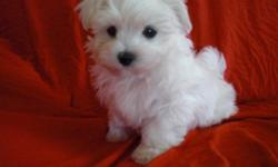 Cute Toy Maltese boy 11 week old, already  have shots/dewormed, and paper trained, will be 5lbs full grown.