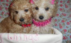 adorable Maltese Poodle puppies boys,Girls, 9wks, vet Checked & Certified, 2 shots and worming UTD, LapBabys,Nonshed hypo allergenic,Puppy comes with starter Bag, shot records, health certificate and Health guarantee, No emails,Ready to go now,