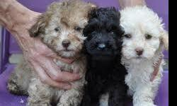 Toy Miniature Poodle Puppies ready i have 1 lovely male and female puppies for sale black and white with bit of beige on chin, father and mother can been seen. . Father is a rare toy phantom poodle which the puppies will carry the gene the