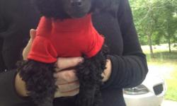This is Romeo! He is 11 weeks old. He loves to play. Black toy poodle puppy. He has a lovely curly black coat. He is very socialized from growing up in our home. I'm located in Arkansas & can fly him out to you through delta airlines. Call 501-238-2866