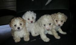 7 week old toy poodle 3 male and 1 female very playful and adorable puppies parents are here to see if you have any questions call or text 9512824642