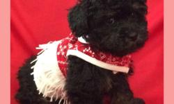 Gorgeous Toy Poodle Puppies in unique and unusual colors - CKC registered - Tails docked Dew claws removed and age appropriate shots and worming done Raised in a clean home NOT A kennel or puppy mill - I raise purebred toy poodles and have been doing so