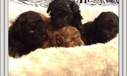 We have a litter of stunning toy & tiny toy poodle puppies. Born September 19, 2013. Our puppies live in our home, which makes them very well socialized and have great temperaments. They're also super adorable. Each puppy comes freshly groomed in puppy