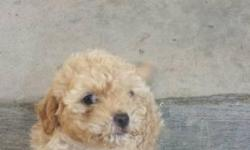 Hello, rehoming 2 toy poodle puppies. They are both females and are very active and playful. Both eat on their own, and are 8 weeks old. They do not have any shots yet, but are completely healthy and playful. Rehoming fee of 350 each, to ensure they go to