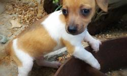 This beautiful boy is 9 weeks old, current on vaccines and wormings, and has been health checked by Veterinarian. He is very friendly and playful, and has been raised in a healthy, clean environment with the best of care and attention. Short, smooth hair