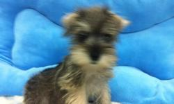 1 Male Salt and Pepper Toy Schnauzer born on 5-15-11. UTD on shots and comes with a health warranty. *?* Credit Cards Accepted (Visa/MasterCard???) ** Financing Available (Please Inquire) ** Shipping Available ** ACA Registered For More Info Call/Text: