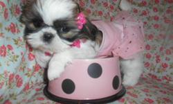 Cutest shihtzu puppies male/female,8wks,vet Checked,shots and worming UTD,Lap Babys,Nonshed hypo allergenic,Puppy comes with starter Bag, shot records,health certificate and Health guarantee,emails,Ready to go now,asking $250boy$300,also 1 shihtzu mix
